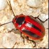 Ріпаковий листоед (entomoscelis adonidis)