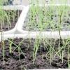 Ріпчасту цибулю, вирощений з чорнушки, - розсадою, весняним і Підзимовий посів