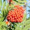 Горобина звичайна: вирощування і догляд