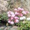 Рододендровое царство в японському саду