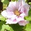 Розкіш цвітіння махрових клематисів