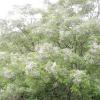 Розкіш цвітіння мелії іранської