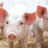 Рожа свиней та інші небезпечні для людини хвороби з докладним описом і методами лікування