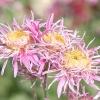 Рожеві, бузкові, лілові крупноцветковие хризантеми осіннього балу Нікітського ботанічного саду