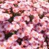 Рожеві, бузкові, лілові мелкоцветковиє хризантеми осіннього балу Нікітського ботанічного саду, частина 3