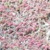Рожевий очиток