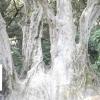 Найстаріше дерево України
