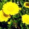 Їстівні квіти