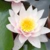 Їстівні рослини в оформленні водойми
