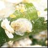 Щитівка червона грушева (epidiaspis leperii)