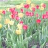 Сортові тюльпани майже задарма? це можливо