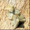 Совка люцернова (heliothis viriplaca)