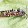 Стеклянніца малинова (pennisetia hylaeiformis)