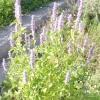 Трава з ароматом анісу