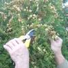 Туя: вирощування посівом насіння. майстер-клас, фото