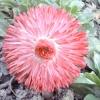 «Вічна красуня» - маргаритка
