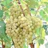 Виноград: сорти для початківців