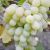 Виноград Ванюша