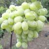 Виноград захват ідеальний