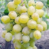 Виноград захват