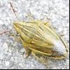 Шкідливий гостроголовий клоп (aelia acuminata)