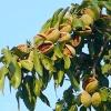 Вирощування мигдалю і волоського ореха.сорта