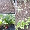 Вирощування столового буряка від посіву насіння до збирання врожаю