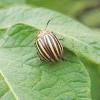Захист картоплі від колорадського жука і хвороб