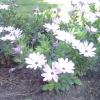 Зоряне літо капской ромашки або остеоспермум