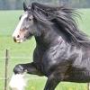 Чим відрізняються коні-ваговози від інших порід коней?