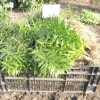 Лусочками, бульбами, дітками або насінням - як краще розмножувати лілії?