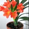 Квітка клівія вирощування догляд
