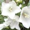 Квіти дзвіночки