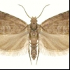 Горохова плодожерка (laspeyresia nigricana)