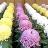 Хризантеми: посадка, вирощування, догляд