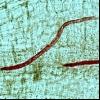 Південна галловая нематода (meloidogyne incognita)