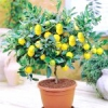 Як виростити домашній лимон павлова.