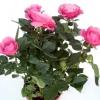 Кімнатні троянди - догляд, розмноження.
