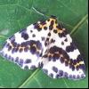Аґрусового п'ядун (abraxas grossulariata)