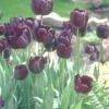 Легенди про тюльпані