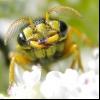 Малиновий мінують пильщик (metallus pumilus)