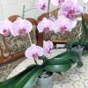 Мої улюблені орхідеї радують цвітінням!