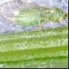 Морквяна листова блошка (trioza apicalis)