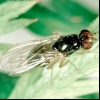 Морквяна муха (psila rosae)
