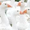 Найбільш рентабельні породи гусей за реальними даними з фермерських господарств