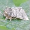Непарний шовкопряд (ocneria dispar)
