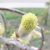 Нову рослину в моєму саду: верба козяча, або бредіна (salix caprea)