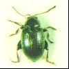 Звичайна бурякова блошка (chaetocnema concinna)
