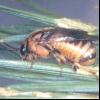 Звичайний сосновий пильщик (diprion pini)