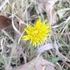 Кульбаби цвітуть у середині січня